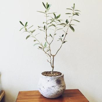 オリーブの木の樹形を整えながら、こんなアートな仕上がりにしてもるのもオシャレ。こだわりの鉢に植えて、まるで盆栽のような美しさが感じられますね。