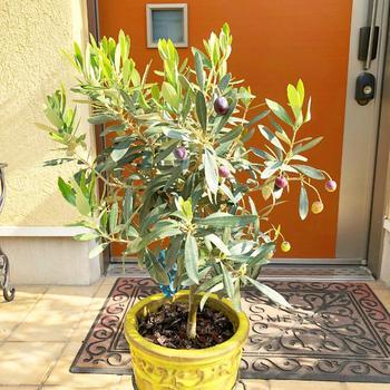 お庭でも室内でも育てられるオリーブの木。おうちのスペースに合わせて配置できるので、ぜひ育ててみてはいかがですか。観賞用としてはもちろん、剪定した枝葉を活用してインテリアにしたり、そのうえおいしい実まで収穫できる…なんて贅沢な植物でしょう♪