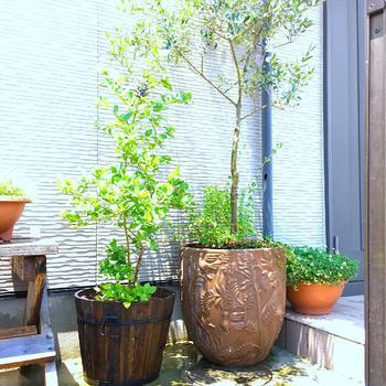 エントランスに、少し大きめのオリーブの鉢植えを置けば、玄関の印象がとてもよくなりますね。ナチュラルで存在感があり、シンボルツリーとしておうちの顔になってくれます。