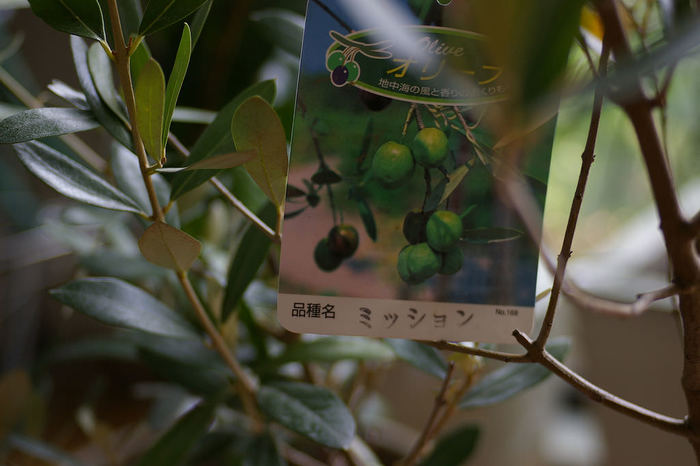 オリーブの木は、モクセイ科オリーブ属。500種以上も品種があるといわれます。葉の美しさからインテリアとして人気のある品種や、実の収穫が早い早生品種、収穫が遅い晩生品種などさまざまな特徴があります。