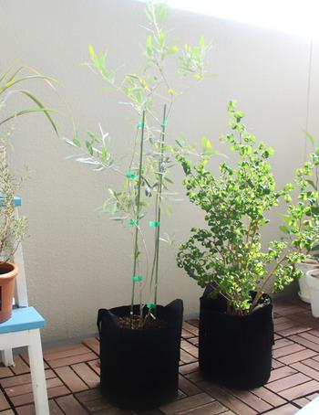オリーブの実を収穫したいときは、受粉するように開花時期が重なる2種類以上のオリーブの木を用意しましょう。ちなみに、写真のタフガーデンバッグは、鉢の代わりになり、とても丈夫で移動しやすく、ガーデニングに便利だそうです。