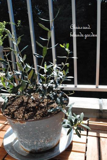 オリーブの木は、成長を見ながら1~2年ごとにワンサイズ大きい鉢に植え替えます。4~6月頃が適期だとか。湿気に弱いので、鉢底石を入れるのをお忘れなく。オリーブの木をのびのびと育てるには、植え替えは欠かせません。