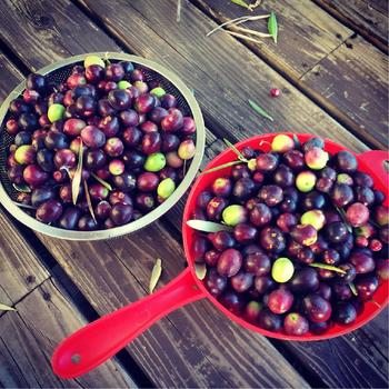 3年以上生育したオリーブの木からは、たくさんのオリーブの実が収穫できます。おうちで収穫した貴重なオリーブを上手に処理して、おいしく味わいたいですね。