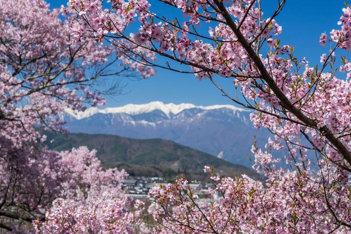 毎年、桜が見頃を迎える時期になると、高遠城址公園さくら祭りが開催され、大勢の花見客で賑わいます。雄大な南アルプスと淡ピンク色をした満開の桜が織りなし、高遠城址公園では絵画のように素晴らしい景色が広がります。