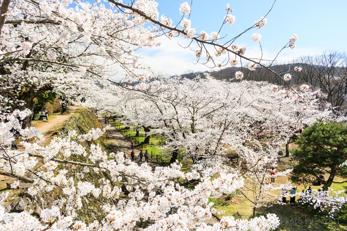 明治時代に活躍した詩人、島崎藤村の「千曲川旅情の歌」で知られる小諸城址懐古園では、約500本の桜が植栽されています。競うように次々と花を咲かせる桜は、高原に佇む城址に春の訪れを告げているかのようです。