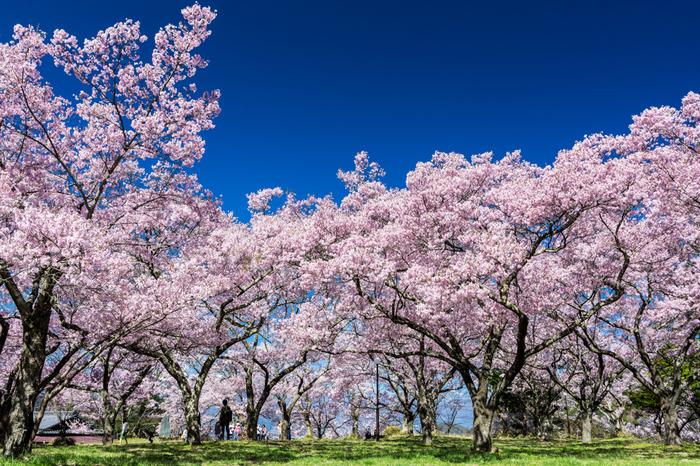 戦国時代の名武将、武田信玄によって築城された高遠城の址地となっている高遠城址公園には、約1500本のコヒガンザクラが植栽されています。