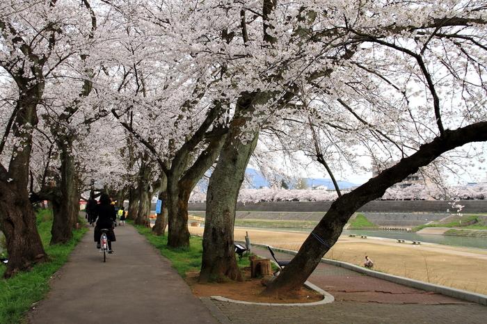 満開に咲き誇る桜並木を歩いていると、桜のトンネルの中に迷い込んだような気分を覚えます。