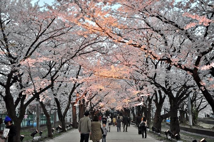 上越市中心部に位置する高田公園は、1614年に築城された高田城址につくられた都市公園で約4000本の桜が植栽されています。