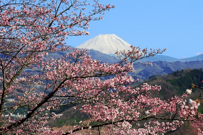 大法師公園から眺める富士山の美しさは傑出しています。白く冠雪した富士山、山麓の豊かな緑と満開に咲き誇る桜が織りなし、絵画のような景色を作りだしています。