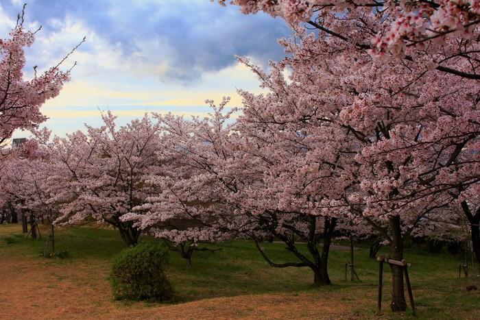 山梨県内で唯一、「日本さくら名所100選」に選定されている大法師公園は、甲府盆地の南西端に位置する大法師山中腹に佇む公園です。公園内には、ソメイヨシノ、サトザクラ、シダレザクラなど約2000本の桜が植栽されており、毎年3月下旬から4月上旬にかけて見頃を迎えます。