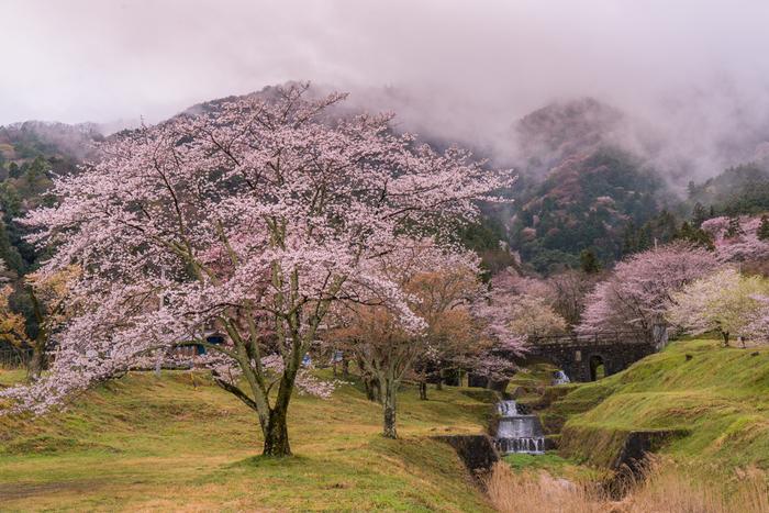 明治時代以降になっても、ソメイヨシノ、ヤマザクラ、シダレザクラといった桜の植樹が続けられ、現在は約1500本から2000本もの桜があります。渓谷と桜が織りなす霞間ヶ渓の渓谷美は格別で、国の名勝と天然記念物に指定されています。