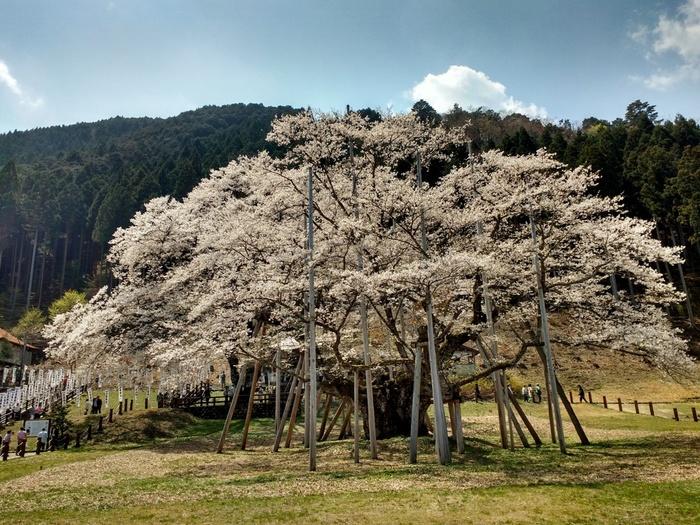 根尾谷・淡墨公園にある淡墨桜は樹齢1500年を超えるエドヒガンザクラの古木です。幾度となく枯死の危機に晒されながらも、悠久の時間を刻み続けてきた淡墨桜は、国の天然記念物に指定されているほか、日本五大桜の一つに数えられています。