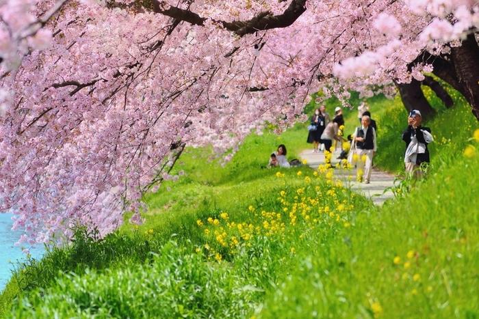 徳川家康生誕の地である岡崎城址の岡崎公園には、約800本の桜が植栽されています。