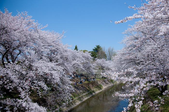 桜が見頃を迎える3月下旬から4月上旬にかけては、新境川堤周辺は、各務原市内外からやってくる大勢の花見客で賑わいます。