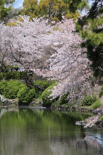 1909年に名古屋市によって開園された鶴舞公園は、名古屋市有数の桜の名所で、国の登録記念物に指定されています。