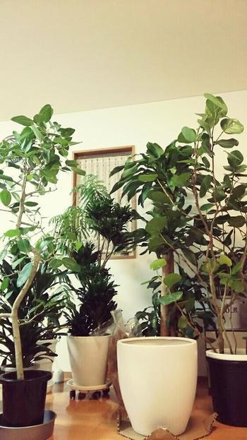 観葉植物の多くは日本よりも暖かい熱帯地方が原産。種により差はありますが、全体的に寒さに弱い傾向があります。霜を避ける、乾燥と水やりに注意するなど、観葉植物の冬のお手入れ方法をまとめてみました。