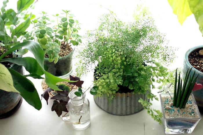 気温の下がる冬の間、観葉植物の多くはあまり成長しません。休眠状態になる種も多いです。活動自体が鈍るので水を吸い上げる力も弱まります。この状態で水をいつも通りにあげてしまうと根腐れを起こして枯れてしまいます。土が乾いたら一度でたっぷりとあげると良いとのこと。寒さにことさら弱い植物の場合、乾燥させた状態を保ちながら様子を見ましょう。断水して休眠させた状態で冬越しする方が良い、サンスベリアなどの種類もあります。