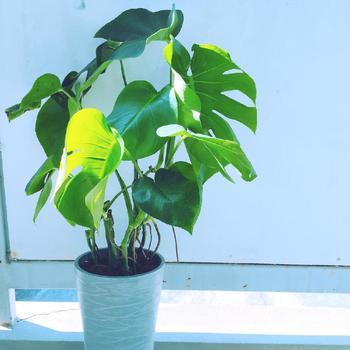 切れ込みの入った大きな葉っぱが人気のモンステラは比較的寒さに強い観葉植物です。5度以上で冬越しできるとされていますが、成長には15度以上が望ましいとのこと。半日陰でも成長する種類ですが冬は窓際などで日差しに当ててあげると良いでしょう。