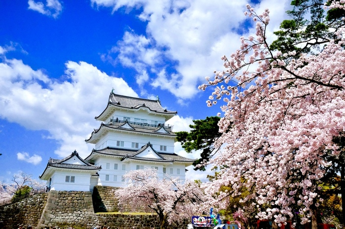 小田原城の跡地に造られた小田原城址公園には、約320本の桜が植栽されています。満開に花を咲かせた桜の樹々は、天守閣の美しさを引き立てています。