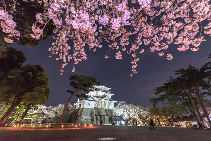 小田原城址公園では、桜の開花時期に合わせて「小田原桜まつり」が開催されます。夜になると、小田原城と桜のライトアップが行なわれ、日中とは異なる趣を楽しむことができます。