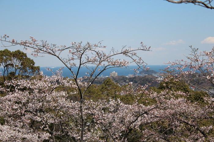 横浜市や東京湾、房総半島を見渡すことができる眺望スポットとして人気の衣笠山公園には、ソメイヨシノ、シダレザクラ、ヤマザクラなどの桜があります。毎年3月下旬から4月上旬にかけて、公園内にある約2000本の桜が見頃を迎えます。