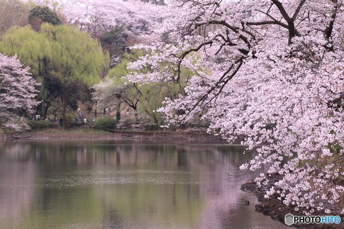 神奈川県立三ツ池公園は、野鳥の宝庫でもあり、豊かな自然に囲まれた総合公園です。公園内にある3つの池の畔には、約1000本の桜が植栽されており、春の公園に彩りを与えています。