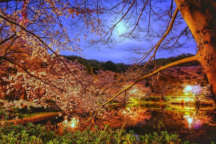 ソメイヨシノ、ヨコハマヒザクラをはじめ、約35品種の桜が植栽されている神奈川県立三ツ池公園では、「さくらまつり」が開催され、ライトアップも実施されます。おぼろ月夜と夜桜が織りなす景色は、まるで日本画のような美しさです。