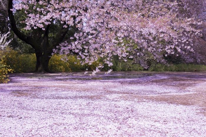 新宿御苑では、桜の見頃を終えた後でも素晴らしい景色が待っています。美しくも儚く、見頃を終えた桜のはなびらが地面いっぱいに散りばめられている様は、まるで大地に桜の絨毯を敷き詰めたかのようです。