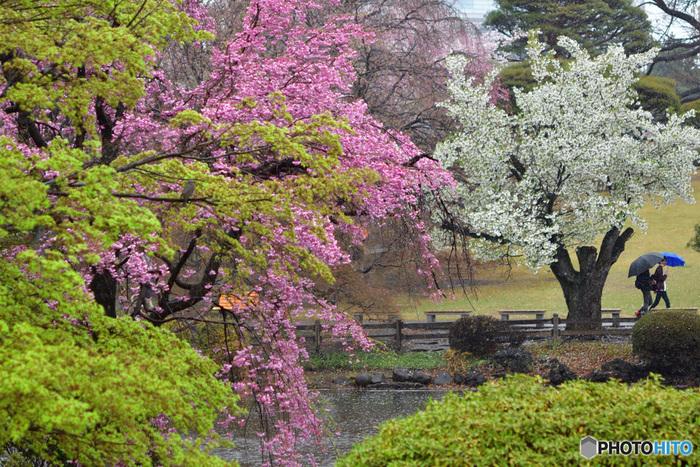 大都会のオアシスとして親しまれている国民公園、新宿御苑には約65種類以上もの桜が植栽されています。そのため、新宿御苑では、2月下旬から4月下旬までの長期間に渡り、様々な品種の桜鑑賞を楽しむことができます。