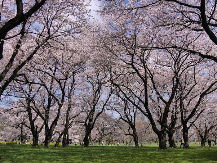 小金井市、武蔵野市、小平市、西東京市に跨る小金井公園は敷地面積約80ヘクタールの都立公園です。まるで都会のオアシスのような小金井公園には、約1800本の桜が植栽されており、大勢の花見客で賑わいます。