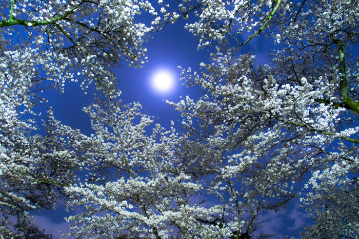 小金井公園では、夜桜鑑賞を楽しむこともできます。藍色の夜空、ぽっかりと浮かぶおぼろ月、月明かりを浴びて白く輝く桜の花を眺めていると、和歌や俳句を詠んでみたくなるような不思議な気分覚えます。