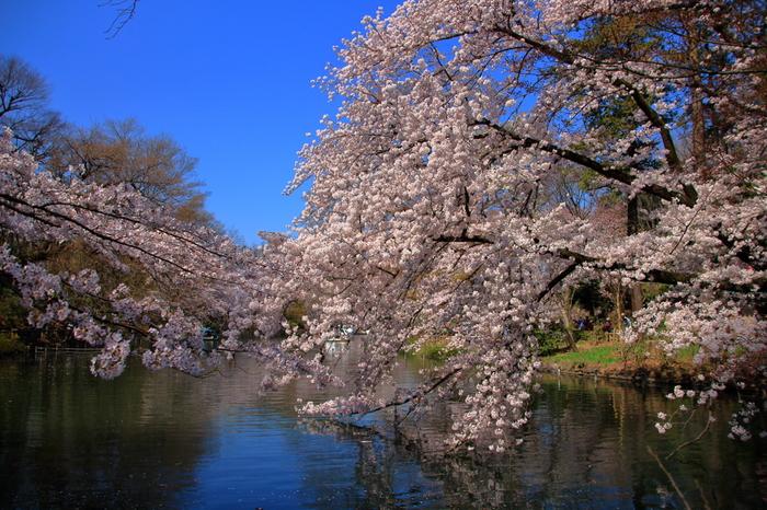 井の頭池を中心とした井の頭恩賜公園には、約500本の桜が植栽されています。井の頭池畔には、池を取り囲むようにソメイシノが植栽されており、満開の桜と、池が織りなす絵画のような景色を臨むことができます。