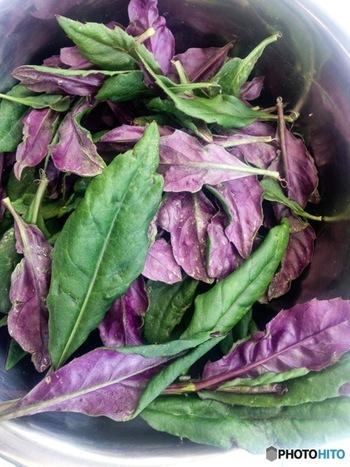 石川県金沢市の伝統野菜「加賀野菜」のひとつである金時草。愛知県では「式部草」、熊本県では「水前寺草」、沖縄県では「ハンダマ」という名前で売られていますが、同じ野菜です。葉の表側が緑色、裏側が紫色なのが特徴で。ゆでるとモロヘイヤやオクラのようなぬめりが出てきます。