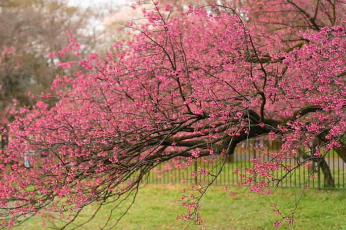 満開に咲き誇る桜の花は、公園敷地を覆う絨毯のような芝生の緑色の鮮やかさを引き立てています。
