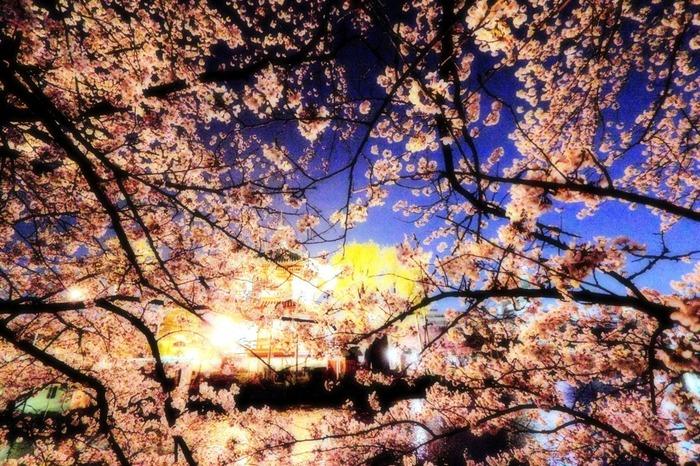 上野恩賜公園の夜桜の美しさは格別です。漆黒の闇夜を背景に、ライトを浴びて輝く桜と無数に燈されたぼんぼりの競演は見事で、訪れる人々を魅了してやみません。