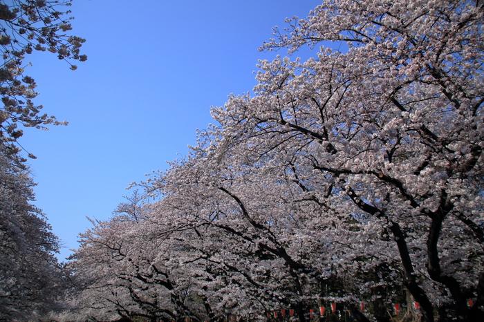 公園中通りに植栽されている桜並木は壮観です。大きく成長した桜の大木が、中通りを桜の花で覆いつくし、壮麗な桜トンネルへと変貌します。