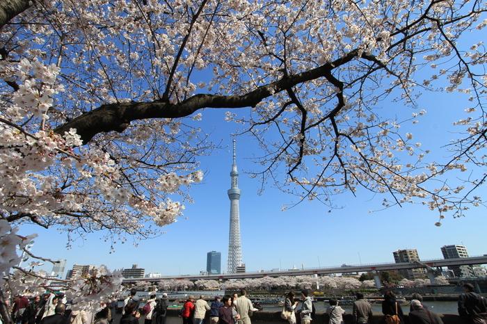 隅田川畔に位置する墨田公園における桜の歴史は古く、江戸時代の将軍、徳川吉宗が桜を植栽した事に端を発します。その後も桜の植栽は続けられ、吾妻橋から桜橋までは、約1キロメートルに及ぶ桜並木が続きます。