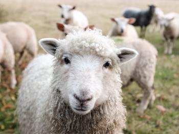 子供の頃から知っている、『羊を数える』眠りの方法。こちらも案外と効果的なのです。ふわふわとした羊がぽーんと柵を飛び越える単調な頭の中のリズム。一匹一匹の羊を鮮明に頭に思い浮かべていたら、いつしか夢の中に…。