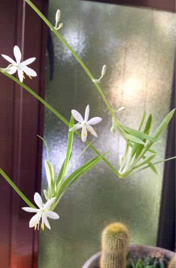 こちらは開花の様子。春から夏にかけて花を咲かせます。鮮やかなグリーンが印象的な植物ですが、お花は可愛らしい小さな白いお花♪「オリヅルラン」を育てる上で開花も楽しみのひとつです。