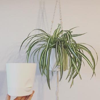植え替えの適期は5~9月頃。生育が旺盛な「オリヅルラン」は根が太くよく伸び根づまりしやすいので、できれば毎年植え替えた方が◎植え替えの際には1~2回り大きな鉢に植え替え、大株になったら株分けで増やすこともできます。