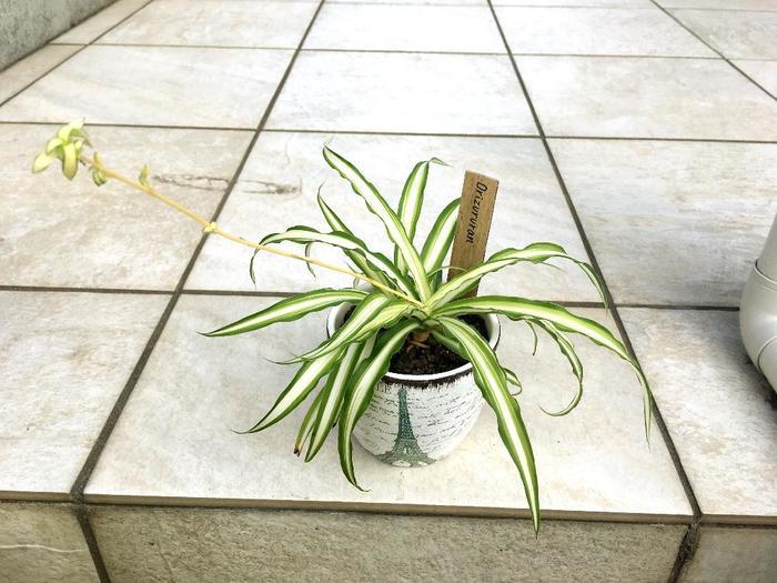 """オリヅルランは""""株分け""""かランナーについた""""子株""""を植える方法で比較的簡単に増やすことができます。""""株分け""""は根についた土を1/3程落とし、ハサミで2~3株に切り分けて下葉を数枚落とし、今までと同じサイズの鉢に植えつけます。"""