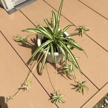 """放射状に茂る葉のシルエットが美しい「オリヅルラン」は、""""ランナー""""と呼ばれる細い茎を長く伸ばし、その先に白い花をつけ、開花後には子株をつけます。その子株の姿が""""折り鶴""""に似ていることからこの名前がつきました。"""