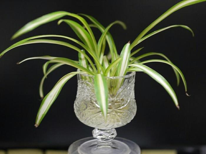 """こちらは""""水栽培""""の「オリヅルラン」。育て方は、水をはった容器に直接株を挿しておくだけでOK!涼し気で可愛らしいですね♪""""水栽培""""のポイントは毎日お水を取り替えて清潔な状態を保つこと。植物活力剤を加えると、さらに育ちがよくなるのだとか。"""
