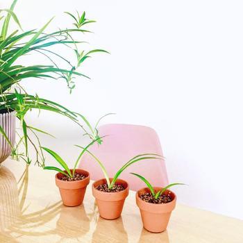 """""""子株""""から増やす方法は、子株を外して植えつけるだけでOK!子株は葉が8枚以上ついているものを切り取るのがポイント。 あとは土を入れた小さめの鉢に植え付ければ完成!いずれの方法も適期は5月から9月。こうして増やしていくのも「オリヅルラン」を育てる楽しみのひとつです。"""