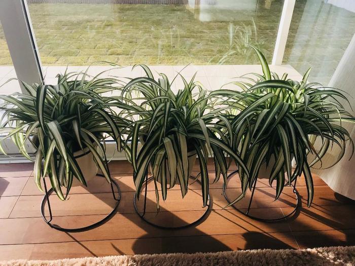 観賞のみならず、大きく育てたり、増やしたり、アレンジしたり…たくさんの楽しみを運んでくれる「オリヅルラン」。花言葉の通り縁起のよい植物ともされているので贈り物にしても素敵ですね♪これから植物を育ててみたい方にもおすすめ!ぜひ大切に育ててみてくださいね♡