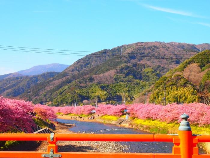 満開の時期には、河津川沿いの桜並木がピンク色に色づきます。川のせせらぎも心地よく、川面には黄色の菜の花が♪屋台も出るので、ぜひ散策を楽しんでみてくださいね。