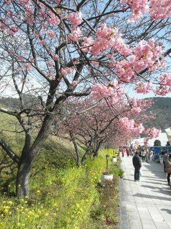2月上旬になれば早咲き桜の「河津桜」が咲き始めるなど、周囲の自然からいち早く春の訪れを感じられるはず。 今回は記事の最後に、河津桜の【桜まつり情報】を付けていますので、あわせてチェックしてみてくださいね♪