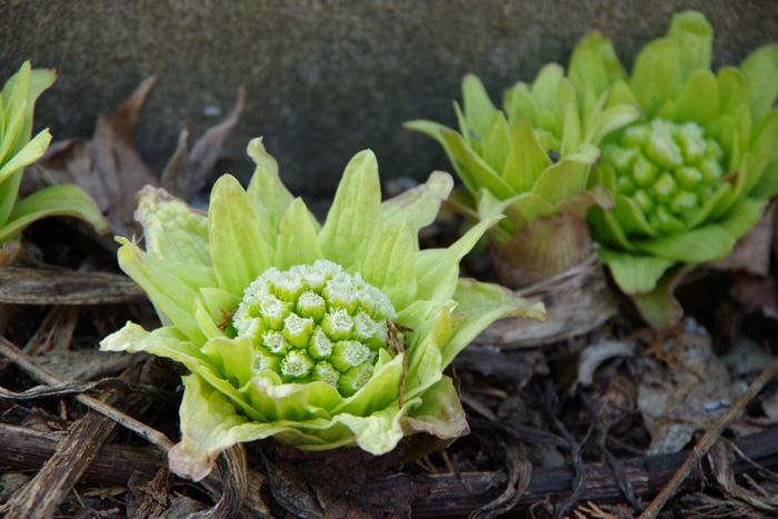美しい淡緑と愛らしい花姿が特徴のふきのとう。日本原産の食用植物で、全国の山野に自生しています。大きくなりすぎると苦みが強くなっておいしくなくなるので、小ぶりで、まだつぼみの状態のものが食べ頃とされています。