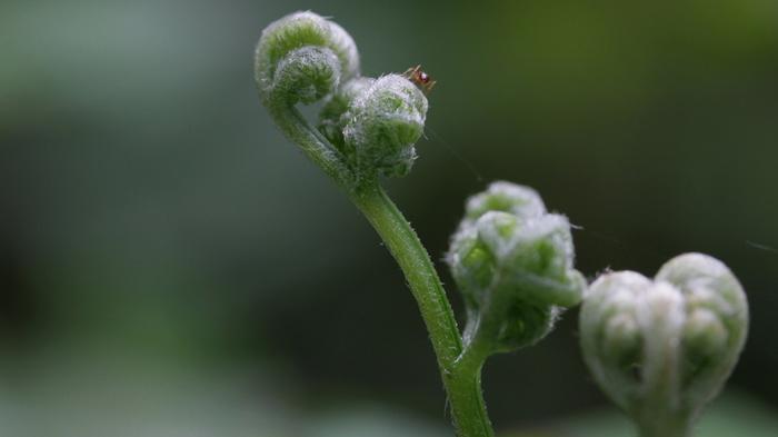 わらび(蕨)はシダ植物の仲間で、山形や秋田など東北をはじめ、全国で自生する身近な山菜です。若芽の部分を食用にするほか、根にデンプンが多く含まれており、このデンプンから作られた「わらび粉」がわらび餅の原料となります。