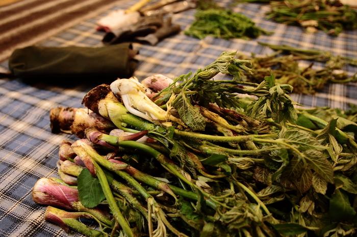 山うどはウコギ科タラノキ属の多年草で、新芽の部分や若い茎の部分などを食用にします。全国で収穫できますが、現在は栽培ものが多く出回っていて、スーパーなどで見かけるものの多くが栽培されたものになっています。